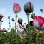 opium thumb medium